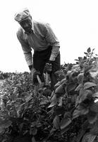 Ambrose Gordon at Work on the Family Farmstead from Ross Hill, near Houston, Mississippi